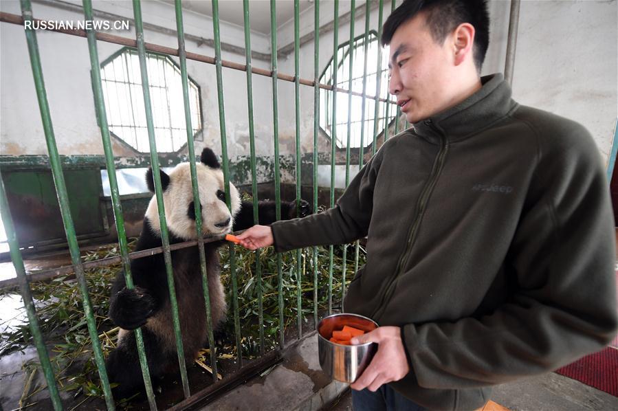 """""""Дедушку-панду"""" с северо-запада Китая скоро направят на лечение в провинцию Сычуань"""