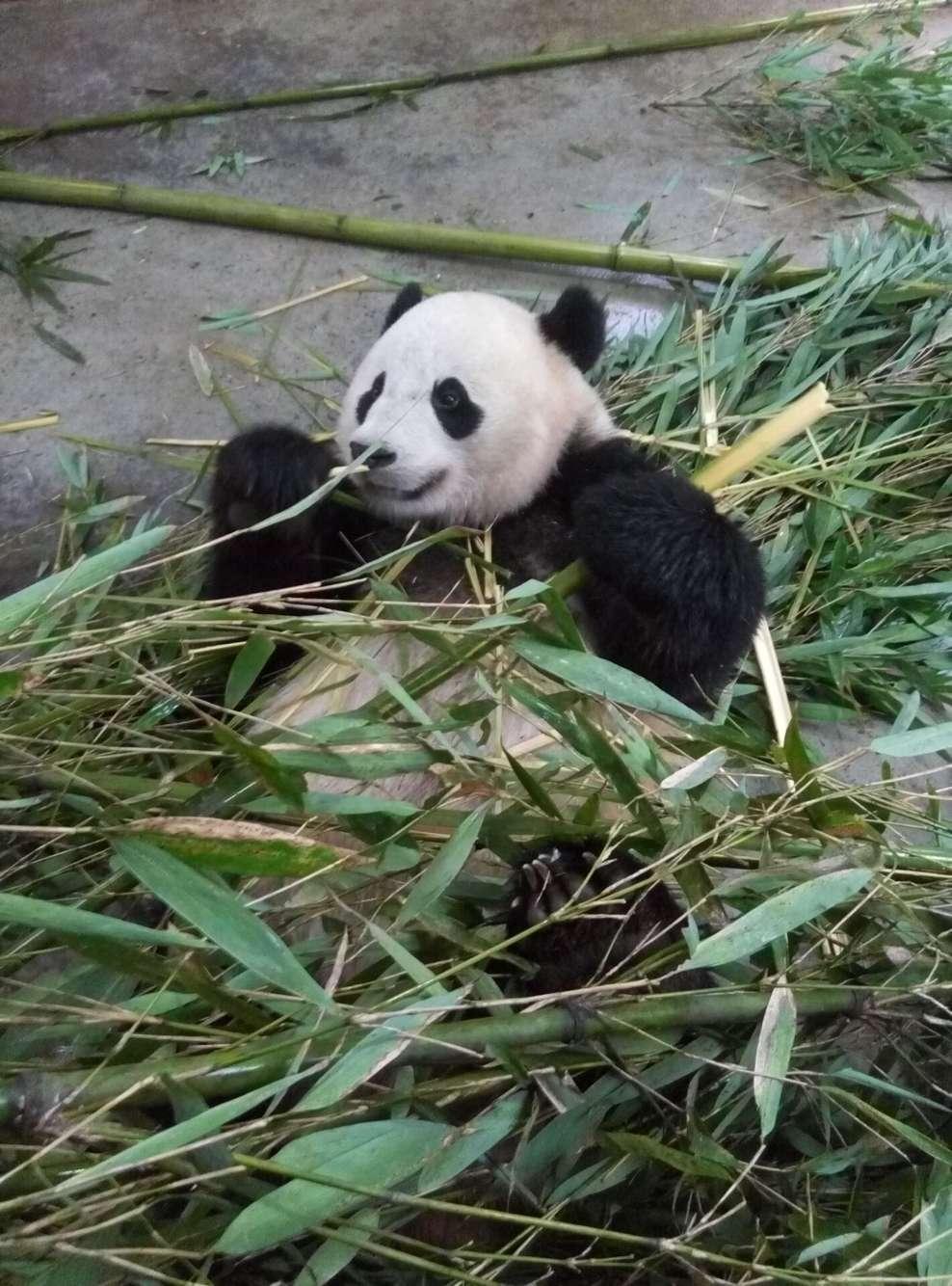 """大熊猫""""宝宝""""在啃竹子"""