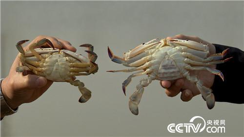 抓住两小时 他靠软壳蟹发硬财(20170315)