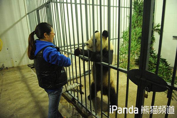 """大熊猫""""蜀兰""""和饲养员刘娟深情互动"""