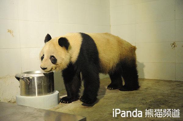 """大熊猫""""蜀兰""""开始接受新生活"""