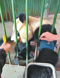 """出发前,""""蜀兰""""在兰州市动物园接受检查"""