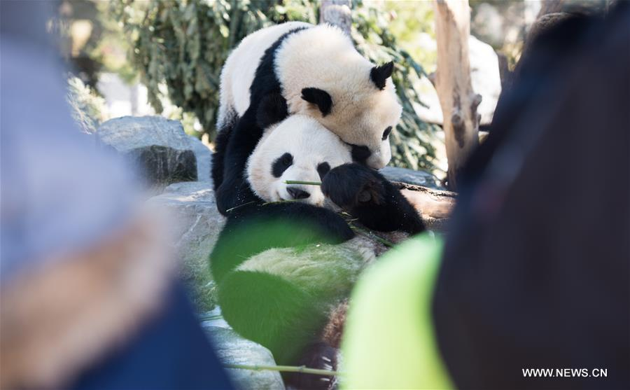 Giant panda cub Jia Panpan (Top) (meaning Canadian Hope) and its mother Er Shun play at the Toronto Zoo in Toronto, Canada on March 17, 2017. (Xinhua/Li Haitao)