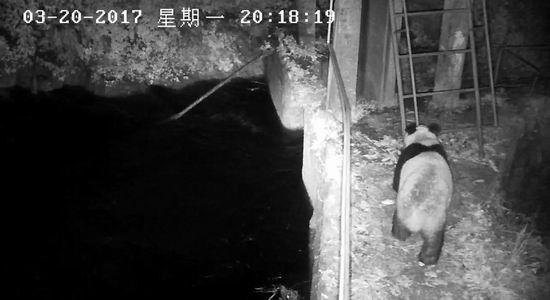 3月20日晚上8点18分,一只野生大熊猫出现在监控中