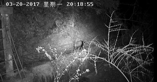 野生大熊猫缓慢离开