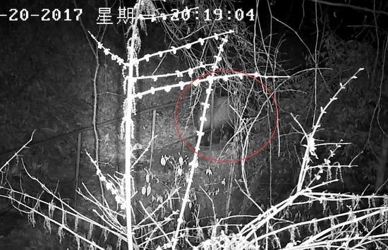 大约一分钟后,野生大熊猫走进树林