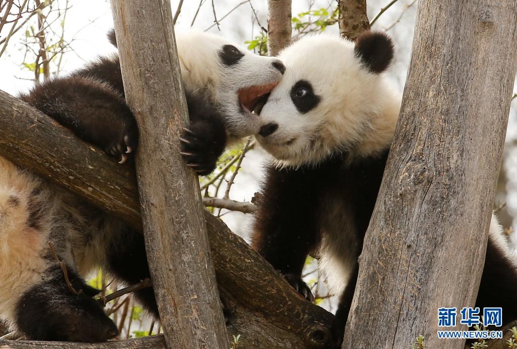 双胞胎熊猫宝宝