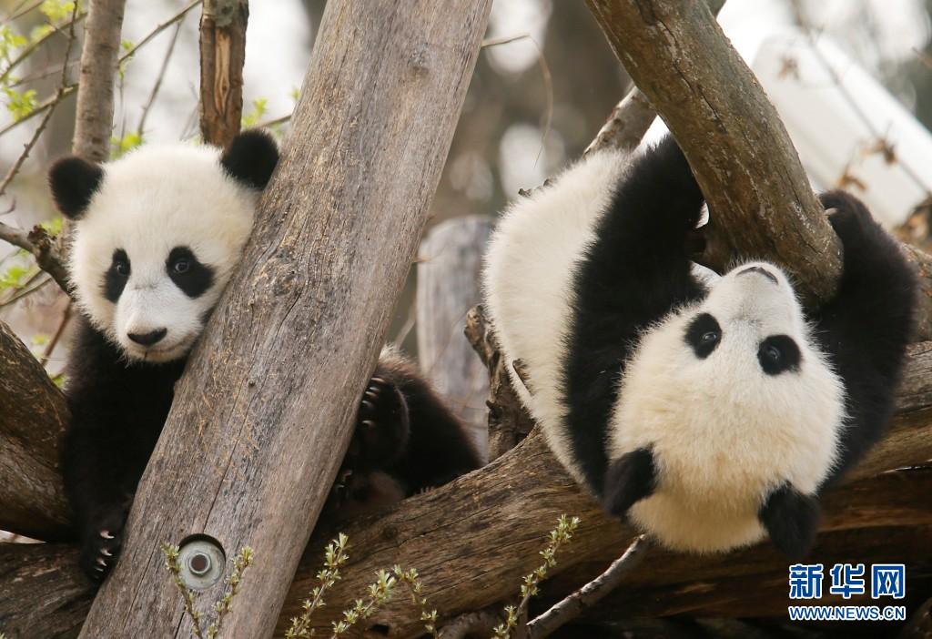 两只熊猫宝宝在树上玩耍