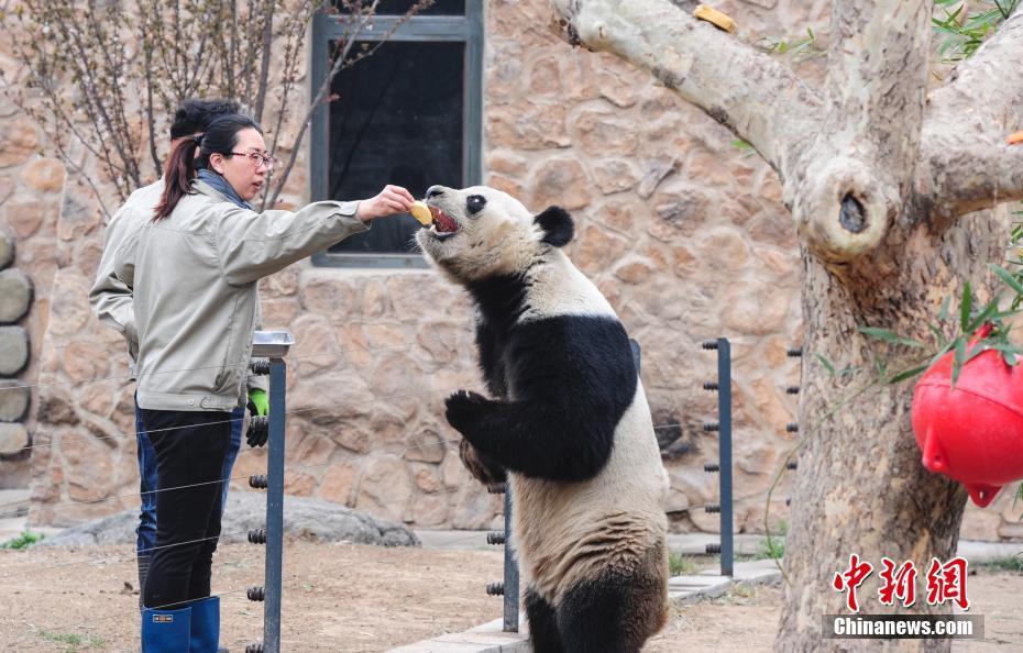 饲养员训练熊猫站立吃食