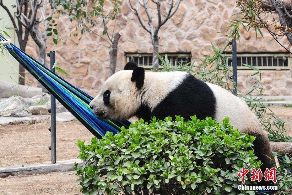 大熊猫上吊床歇息