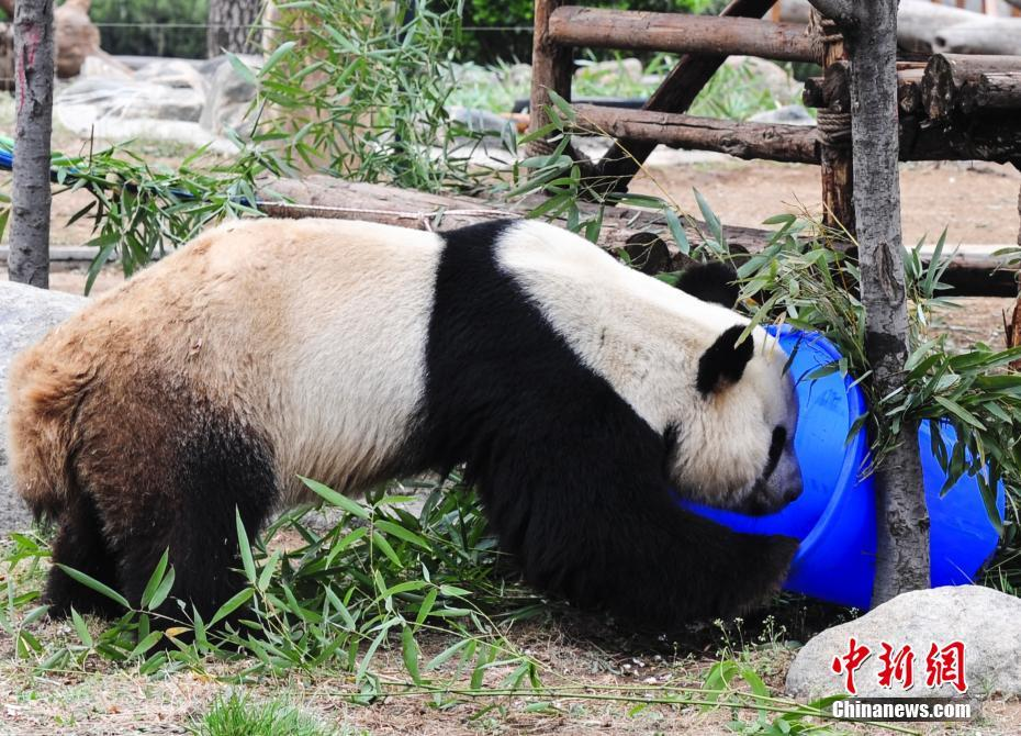大熊猫寻找藏在桶里的食物
