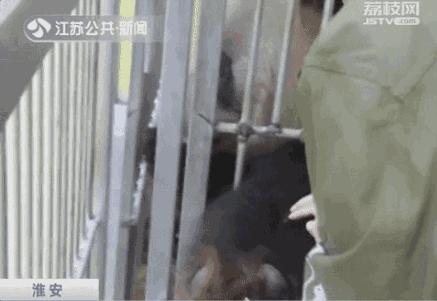 熊猫伸出手臂抽血