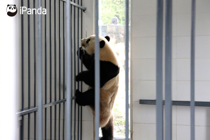 """大熊猫""""宝宝""""来到自己的新家"""