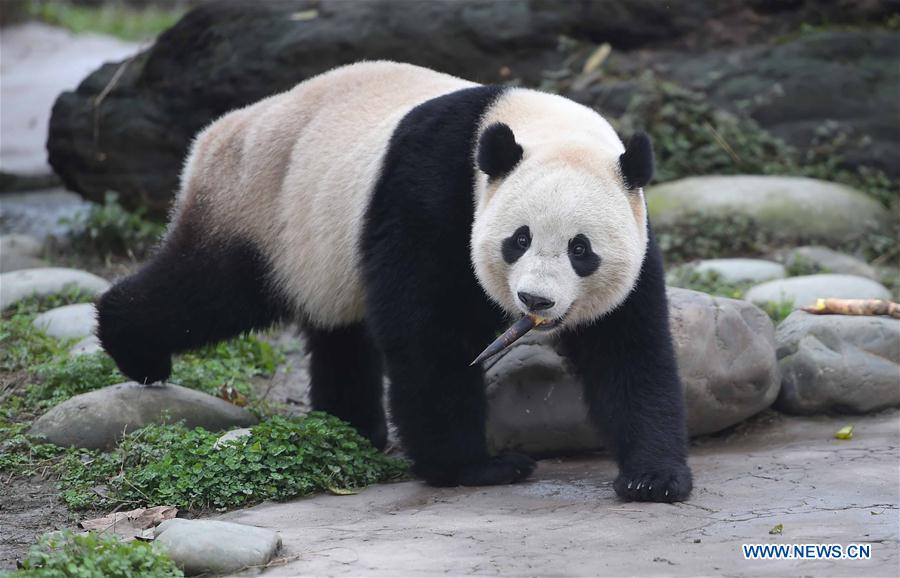 Photo taken on March 24, 2017 shows the giant panda Bao Bao at the Dujiangyan base of the China Conservation and Research Center for the Giant Panda in southwest China
