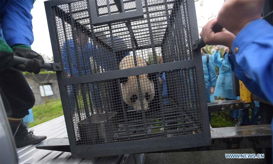 Workers carry the giant panda Bao Bao out of the quarantine area at the Dujiangyan base of the China Conservation and Research Center for the Giant Panda in southwest China