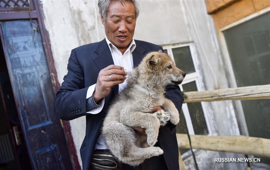 """С волками жить, да не по-волчьи выть: как 71-летний китаец стал """"царем волков"""""""