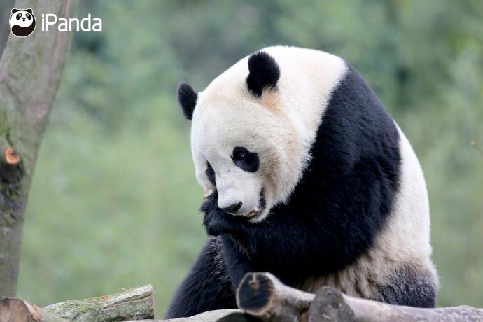 """熊猫""""宝宝""""回国首亮相"""