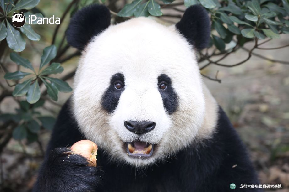 壁纸 大熊猫 动物 920_613