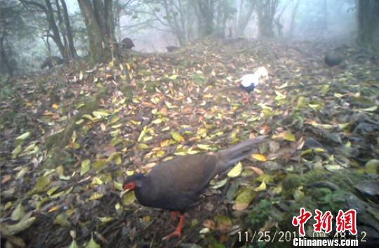 红外相机拍摄到成群活动的国家二级保护动物白鹇