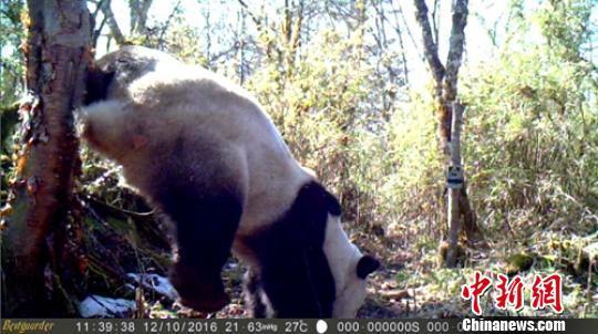 红外相机成功记录大熊猫将尿液撒在树干上标记领地过程。