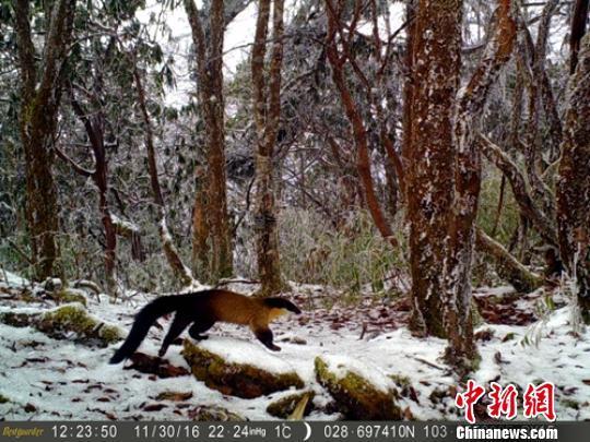 红外相机拍摄到的国家二级保护动物黄喉貂
