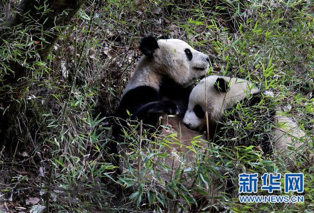 秦岭大熊猫母子野外哺乳的温馨瞬间(蒲春举摄)