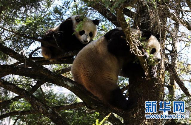 野生大熊猫母子在树上休息(蒲春举摄)