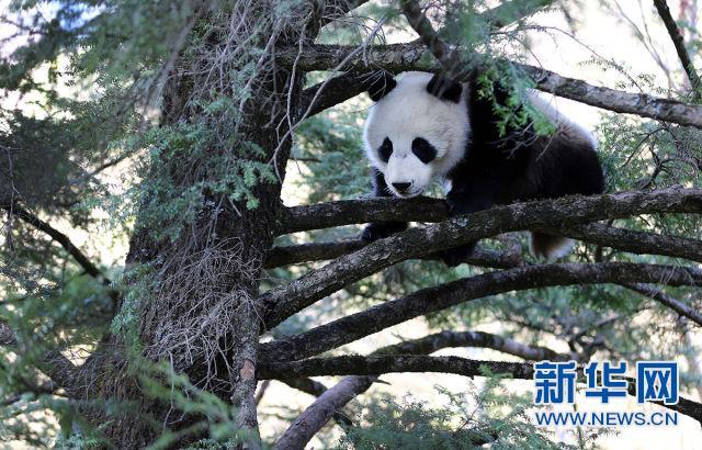 大熊猫幼崽在茂密的铁杉树丛中(蒲春举摄)