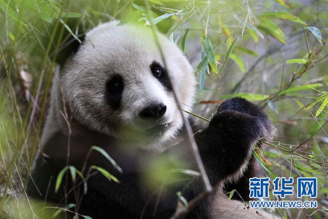 """大熊猫""""妈妈""""正在觅食、吃竹子(蒲春举摄)"""