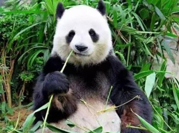 新加坡,加拿大,比利时,马来西亚共13个国家的18个动物园开展大熊猫
