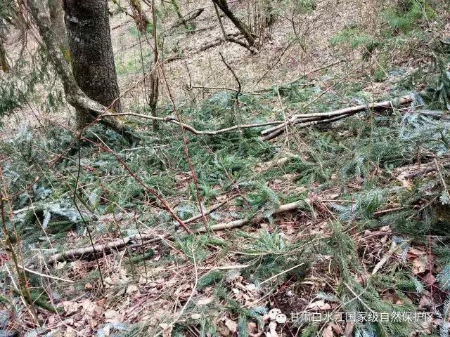 一群金丝猴从树顶呼啸而过,留下一地吃剩的树枝