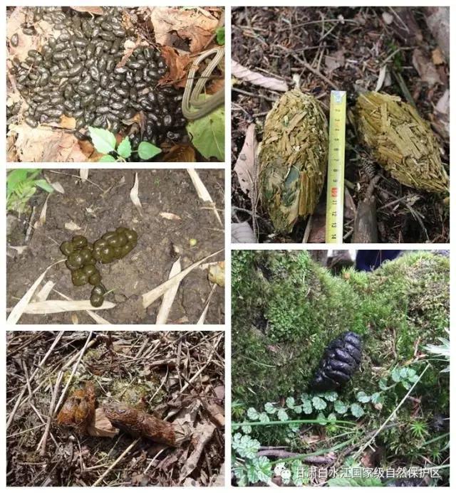 根据发现的不同动物的粪便来识别动物