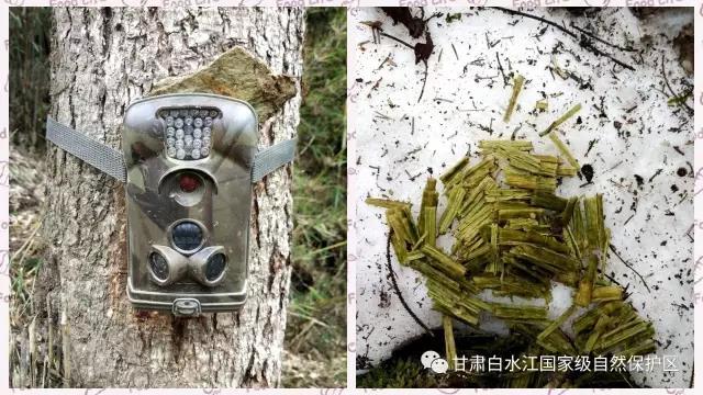 一团熊猫粪豁然出现在眼前,不远处就是我们布设的红外相机