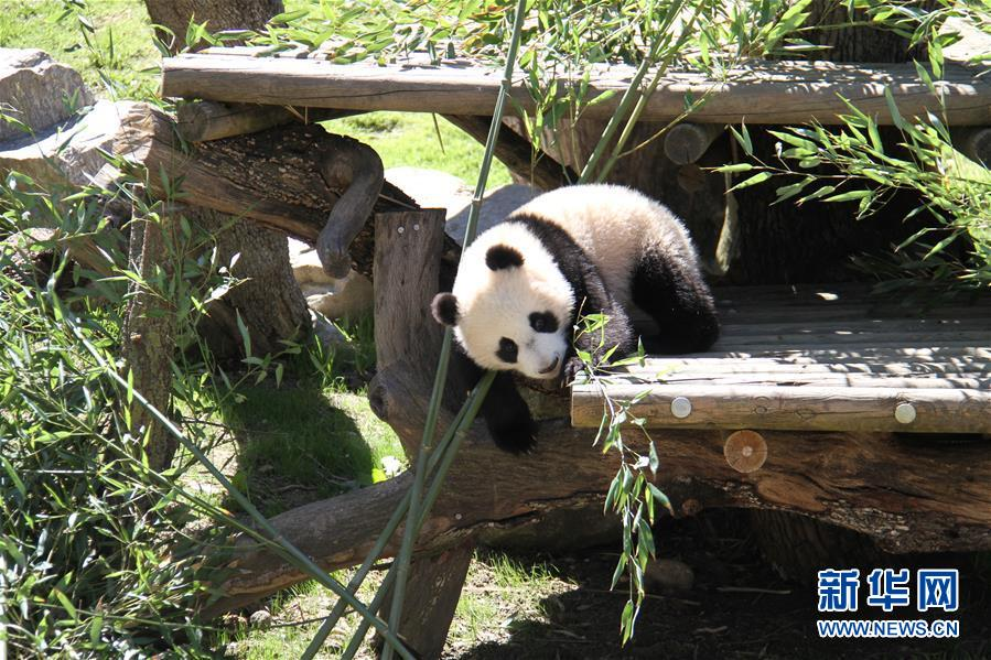 The seven-month-old baby panda at the Madrid Zoo, Chulina, had two special visitors when she went for her first walk outside the pagoda.