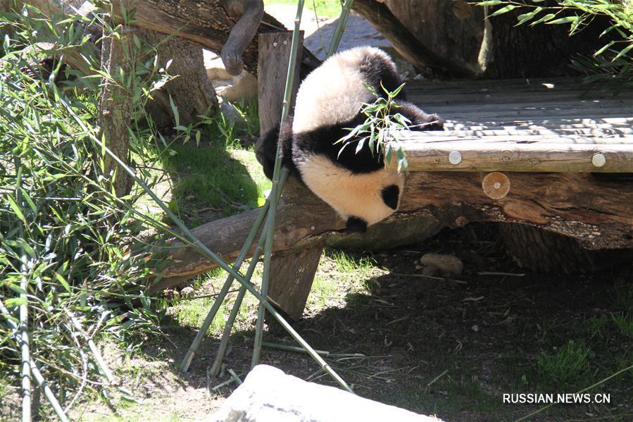 Большая панда Чулина впервые встретилась с посетителями зоопарка г. Мадрида