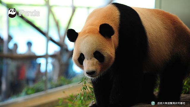 """大熊猫""""海浜"""""""