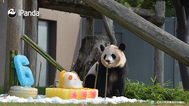 """大熊猫""""阳浜"""""""