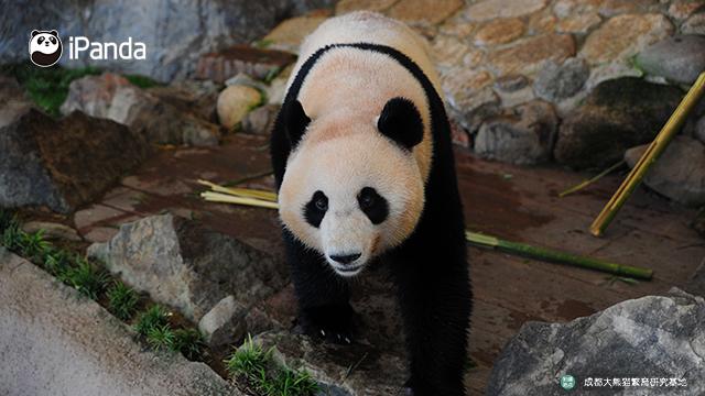 """大熊猫""""优浜"""""""
