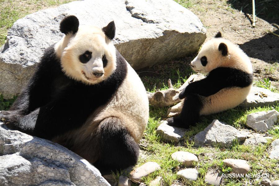 За первой прогулкой панды в зоопарке Мадрида наблюдала королева Испании
