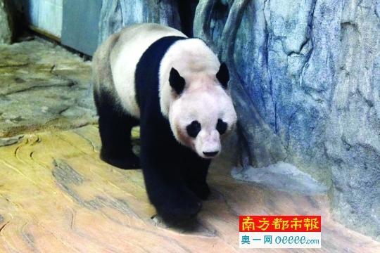 """大熊猫""""秋浜""""憨态可掬。(徐异菲 摄)"""