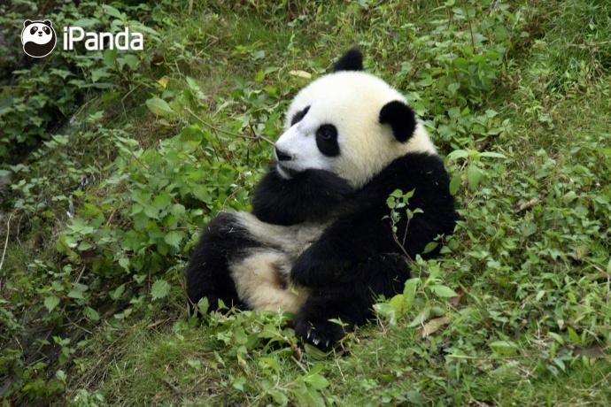 """大熊猫""""武雯""""(资料图)"""