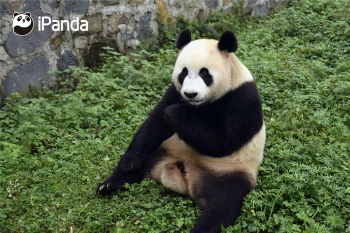 """大熊猫""""星雅""""(资料图)"""