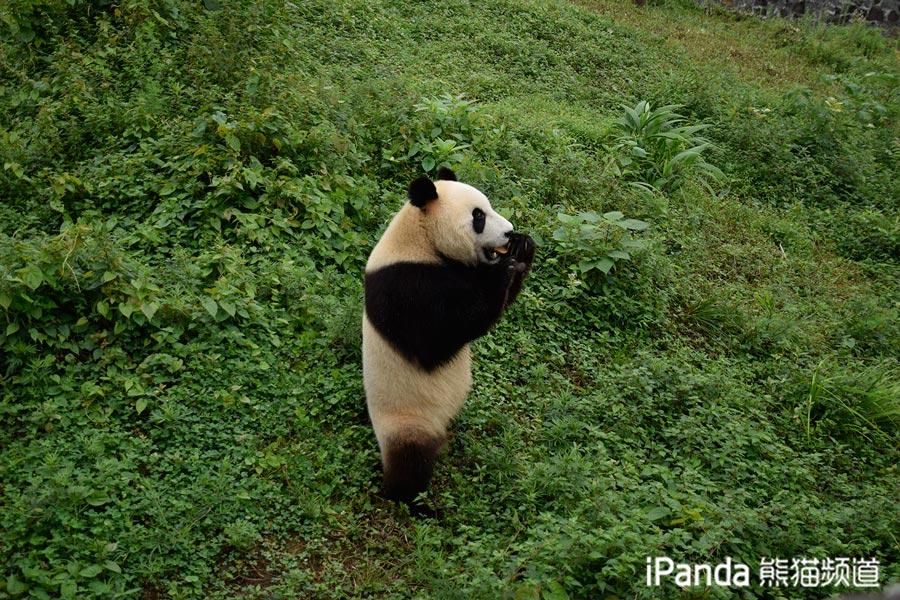 """大熊猫""""星雅"""""""