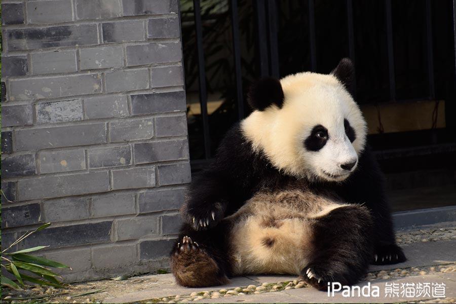 """大熊猫""""武雯"""""""