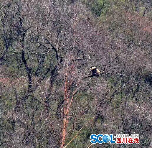 大熊猫树上求偶