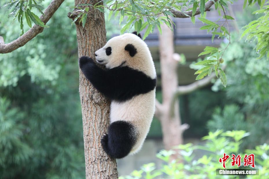 The United States actually has 13 pandas. The Giant Panda was for years bestowed as a national gift, but more recently international zoos have taken them on loan for a specific period of time.