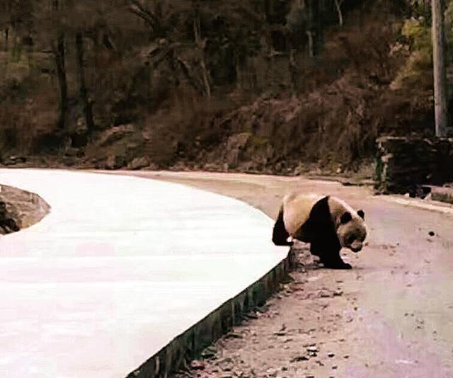 佛坪县农民工王勇近距离拍摄到的大熊猫