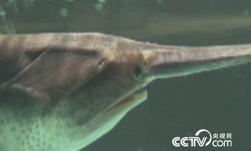 食尚大转盘:长一副鸭嘴的鱼有玄机 4月16日