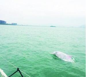 """图为在五缘湾海域亮相的白海豚 。 网友""""五缘湾小曾""""摄"""