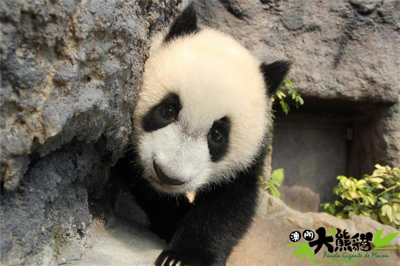 """澳门熊猫馆大熊猫""""健健"""""""